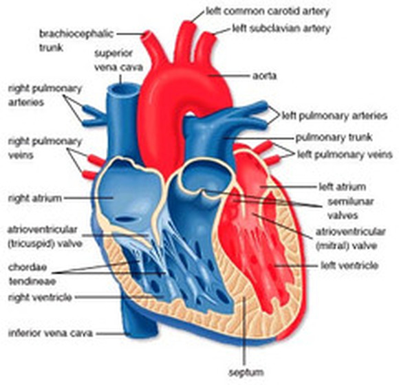 Diagram of the heart heart diagram the human heart ccuart Images
